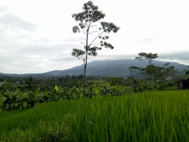 Sarangan Paddy Fields