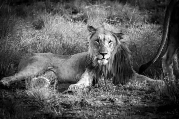 Leeuw in Madikwe
