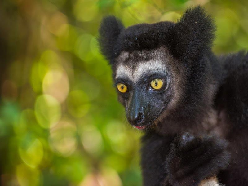 Indri Indri Madagaskar