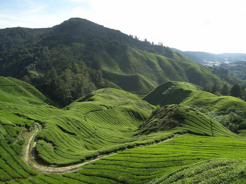 Theeplantages Maleisië