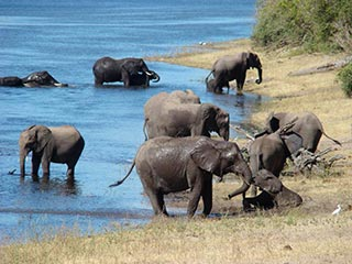 Grote olifantenfamilie in Chobe