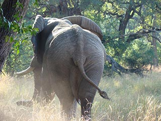 Olifant Hwange National Park