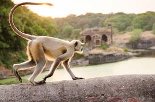 India - Witte aap, Ranthambore Fort - foto: Archief