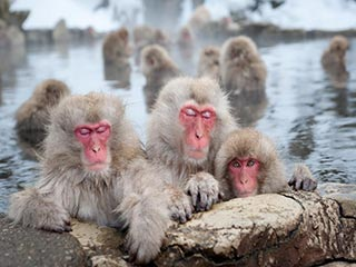 Japan - snow monkeys Japan (Jigokudani) - foto: lokale agent