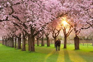De kersenbloesems in Japan zijn vroeg dit jaar!