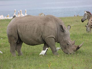 neushoorn in Lake Nakuru National Park