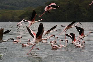 flamingo's Lake Nakuru, Kenia safari - foto: Martijn Visscher