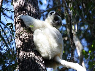 Sifaka in Andasibe National Park - foto: Martijn Visscher