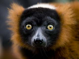 Madagaskar - Close up lemur - foto: archief
