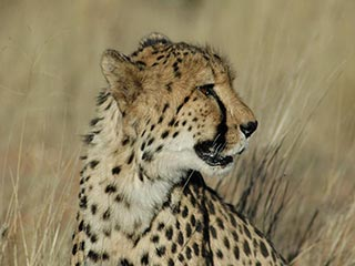 Cheeta in Okonjima