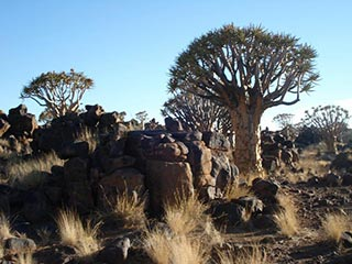 Quiver Tree Forest - foto: Agent