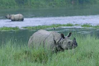 Chitwan National Park - neushoorn in het Chitwan National Park (2) - foto: Barahi Jungle Lodge