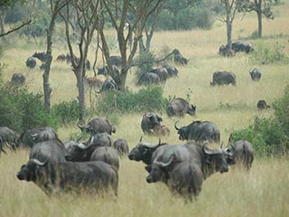 buffels in Queen Elizabeth NP