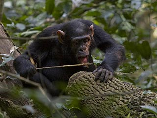 chimpansee in Kibale Forest