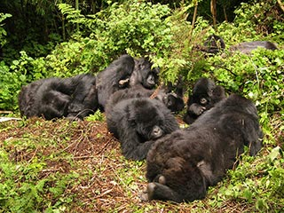 Volcanoes National Park - Gorilla's in het Volcanoes National Park - foto: Lokale agent