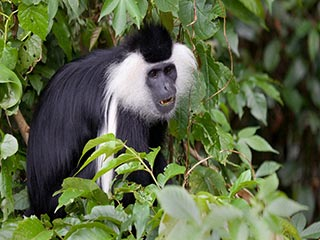 Nyungwe National Park - Colobus aapjes in het Nyungwe National Park - foto: Lokale agent