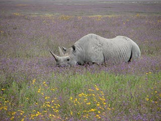 neushoorn in Ngorongoro Crater