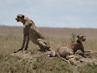 Cheetah's in de Serengeti