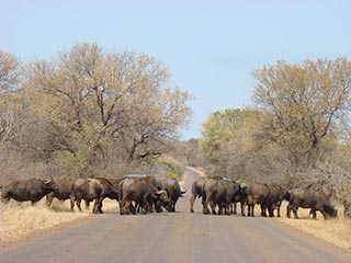 buffels in Kruger National Park