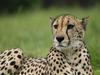 Emdoneni Cat Rehabilitation Centre - Cheetah in Kruger National Park